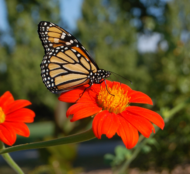 monarch butterfly on mexican sunflower tithonia 092310 074