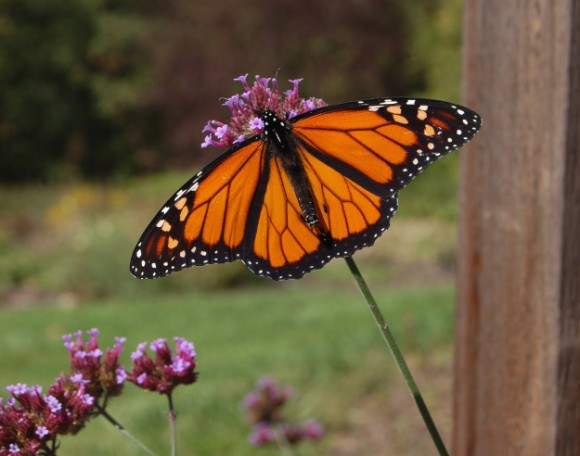 monarch butterfly on verbena bonariensis 100211 142