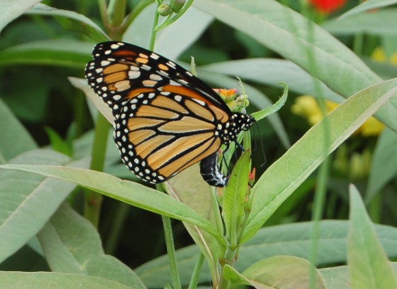 monarch laying eggs on milkweed 071810 114