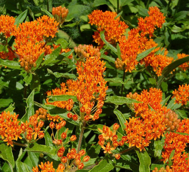 orange butterfly weed asclepias tuberosa 060710 013