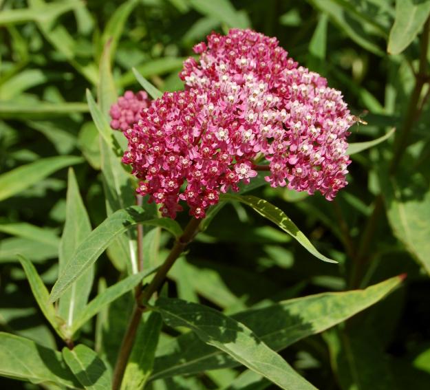 swamp milkweed asclepias incarnata 060710 009