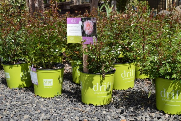 Drift groundcover roses from Star Roses & Plants sold in chartreuse-colored pots.
