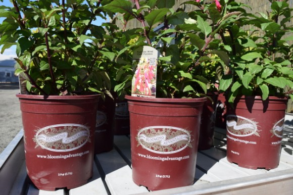 Burgundy pots mean Blooming Advantage in the Northwest.