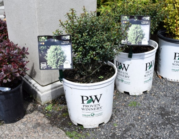 Proven Winners plants are sold in distinctive white pots.