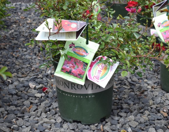 Monrovia's Flower Carpet roses come in a branded green pot with two color tags and a packet of proprietary fertilizer. Oh yeah, I think there's a plant under there, too.