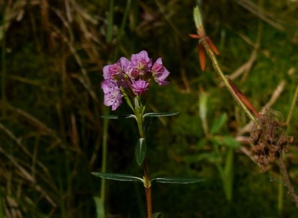 bog laurel kalmia polifolia in peat bog 052215 169