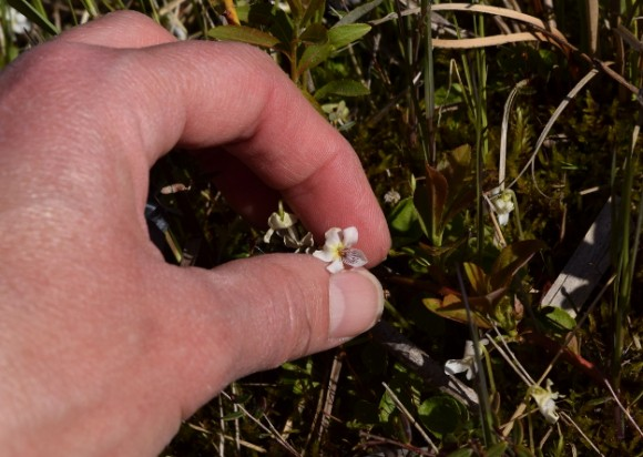 bog white violet viola lanceolata in minnesota peat bog 052315 122