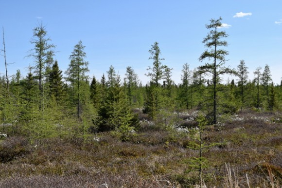 tamarack and black spruce in a peat bog 052315 099