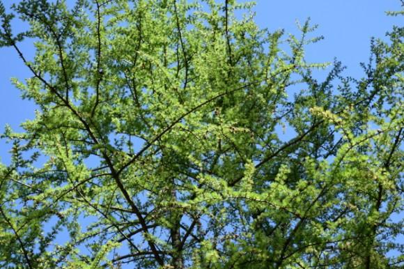 tamarack foliage larix laricina in peat bog in minnesota 052215 218