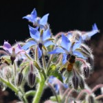 Borage as a Butterfly Host Plant