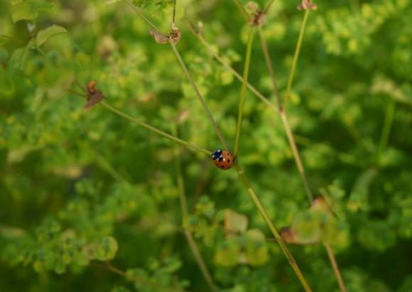 euphorbia stricta golden foam ladybug 062515 035