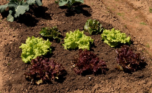 lettuce black seeded simpson and new red fire 050315 178