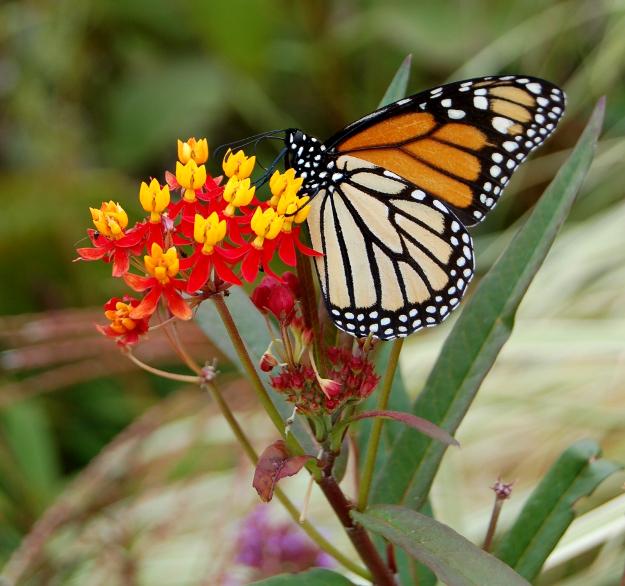 Picky monarchs.