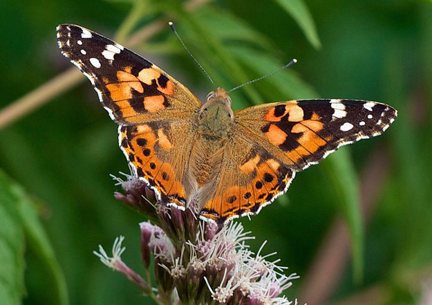 Painted lady butterfly. Photo by Jorg Hempel.