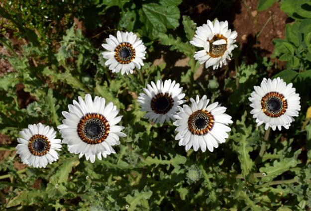 arctotis fastuosa zulu prince cape daisy flowers 070715 052