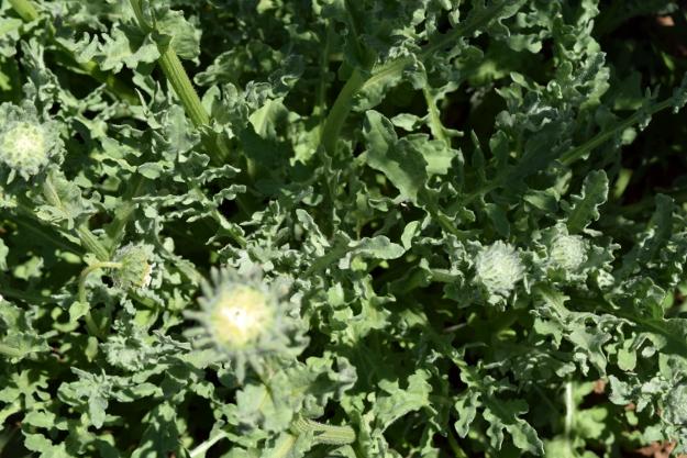 arctotis fastuosa zulu prince cape daisy foliage 071515 118