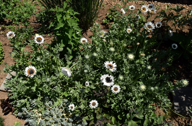 arctotis fastuosa zulu prince cape daisy group 071515 101