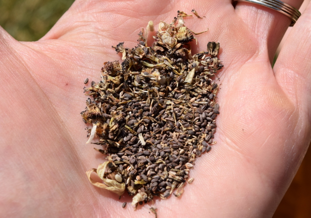 arctotis fastuosa zulu prince cape daisy seeds 071515 008