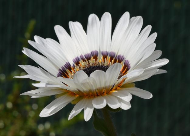 arctotis fastuosa zulu prince cape daisy side view 070715 027