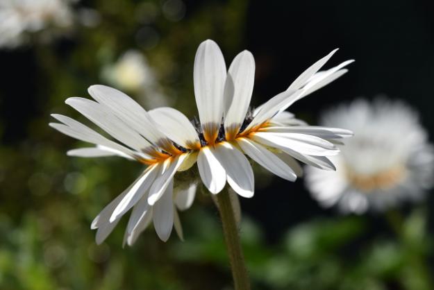 arctotis fastuosa zulu prince cape daisy side view 071515 052
