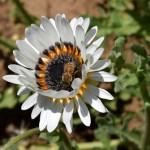 Arctotis fastuosa 'Zulu Prince' Cape Daisy