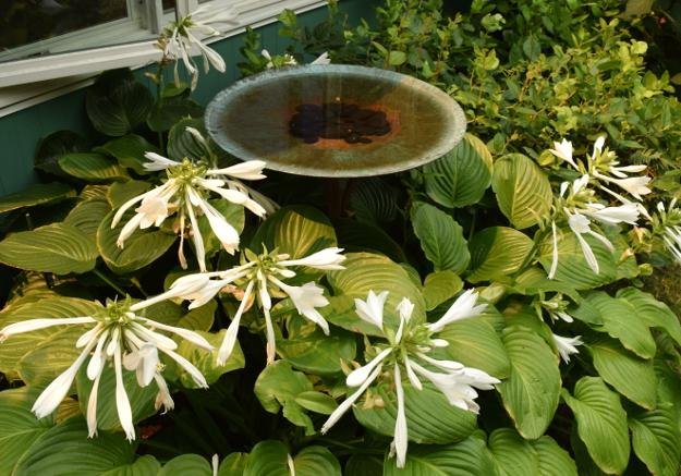 formal garden hosta aphrodite 082215 325