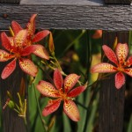 Candy Lilies: Why I Love 'em, How to Grow 'em