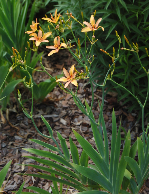 pardancanda iris norrisii candy lily peach foliage 071711 115