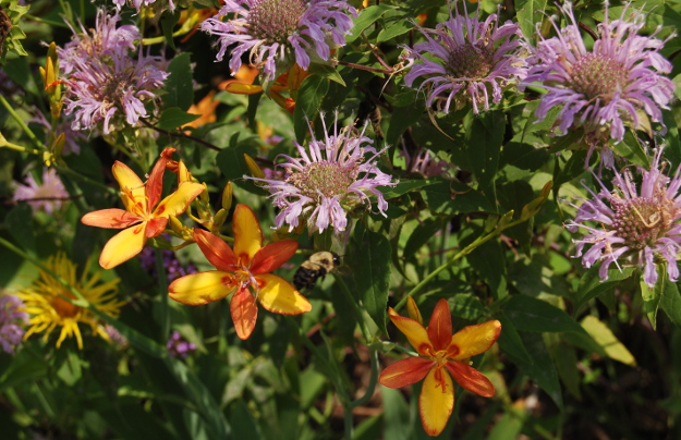 pardancanda iris norrisii candy lily peach yellow monarda fistulosa 071711 091