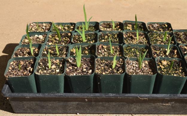 pardancanda iris norrisii candy lily seedlings 080615 021