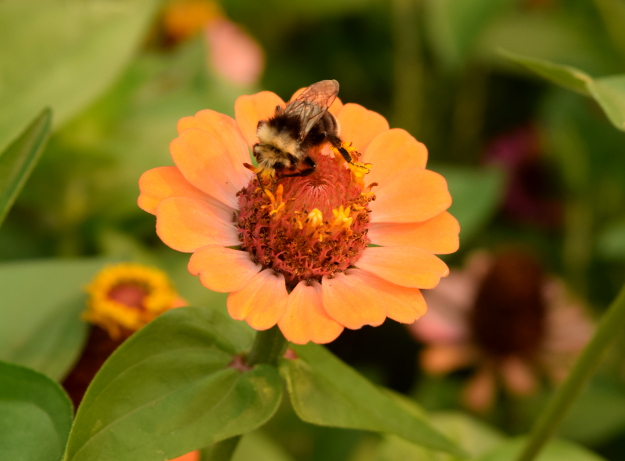 vegetable garden bee on zinnia 082215 108