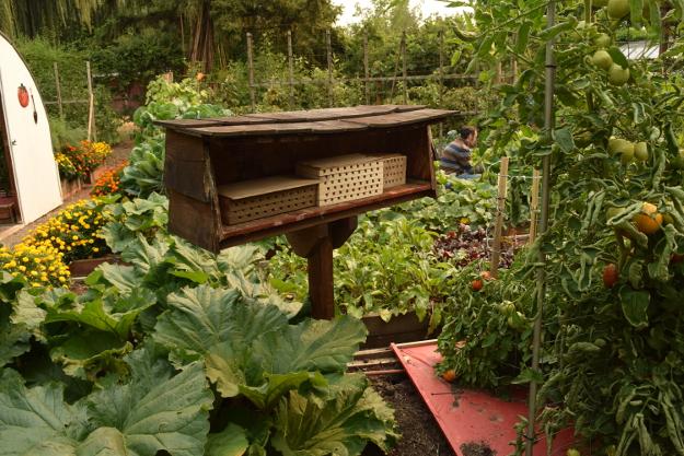 vegetable garden mason bees 082215 101
