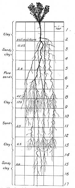 Brickellia eupatorioides root system