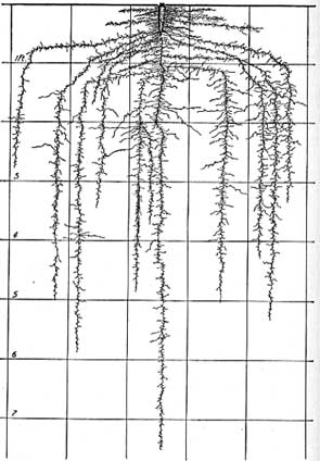 carrot roots 7 ft. deep