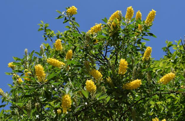 Cytissus battandieri Argyrocytissus pineapple broom 051415 192