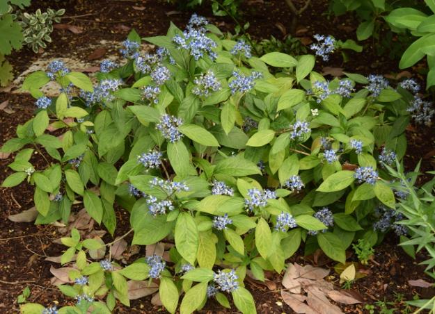 Dichroa febrifuga blue evergreen hydrangea flowers 071115 039