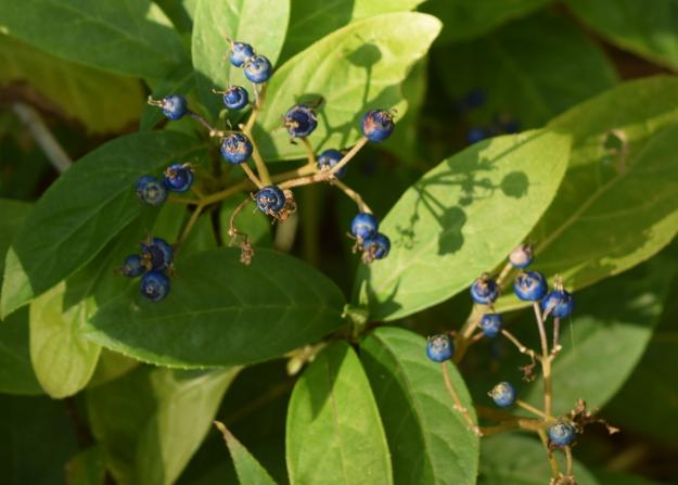 Dichroa febrifuga blue evergreen hydrangea fruit 102015 142