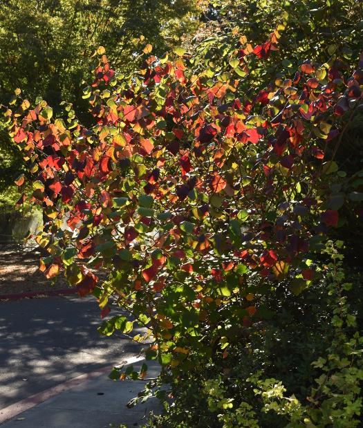 Disanthus cercidifolius fall color 092915 012