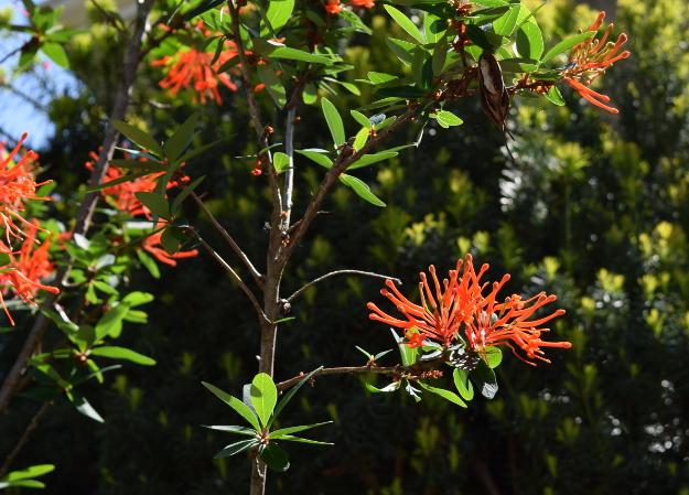 Embothrium coccineum Chilean firebush flowers 051415 049