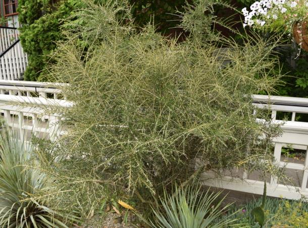 Hymenanthera alpina Melicytus porcupine shrub 071115 085