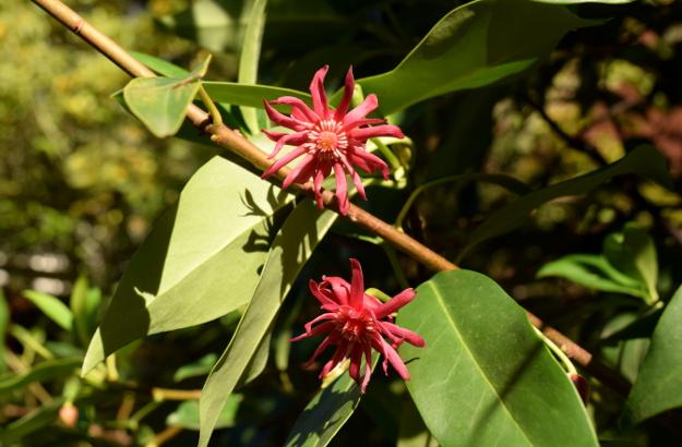 Illicium floridanum Florida anise tree 102015 162
