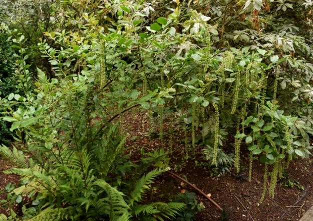 Itea ilicifolia hollyleaf sweetspire plant 071115 100