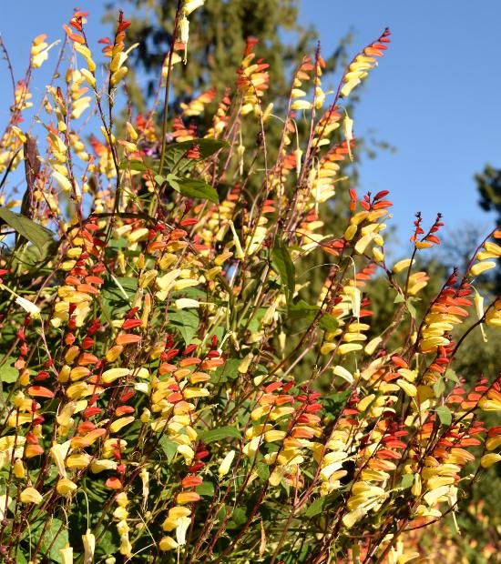 Mina lobata Ipomoea lobata firecracker vine 092915 001