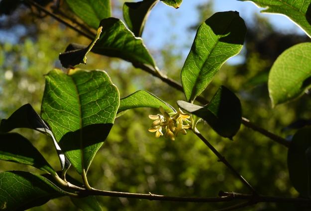 Osmanthus fragrans fragrant tea olive flowers 102015 151