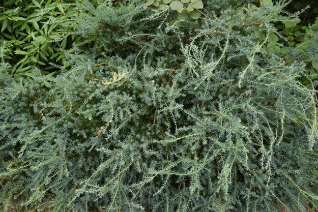 Podocarpus lawrencii 'Blue Gem' 071115 089