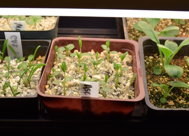 asclepias tuberosa orange butterfly weed seedlings 031515 035