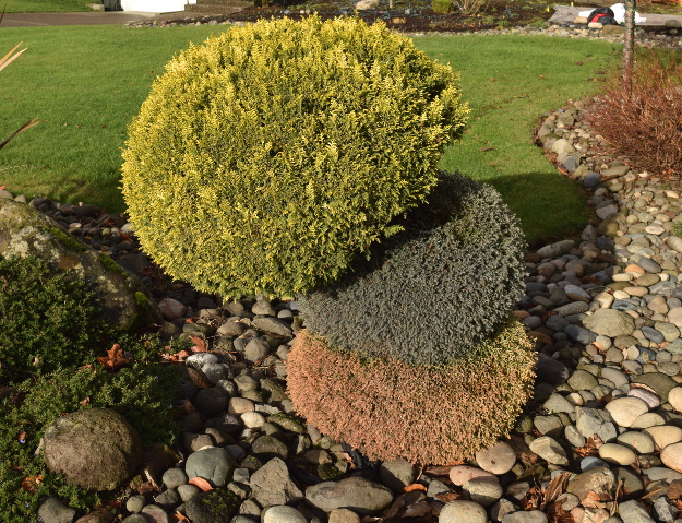 topiary 3 colors grafted chamaecyparis x122015 073