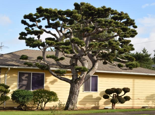 topiary big pine x122015 188