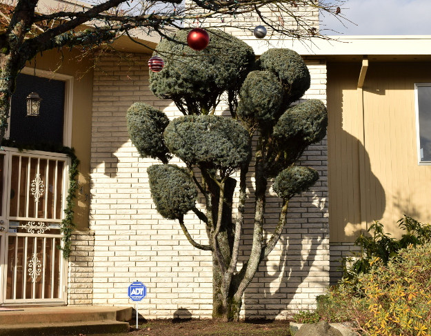 topiary blue spruce x122015 177