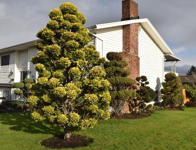 topiary chamaecyparis many pompoms x122015 017